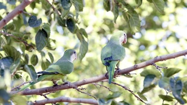 Dos ejemplares de cotorras argentinas en un árbol
