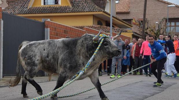 Yuncos sacará a su toro enmaromado en la mañana de este sábado de fiestas