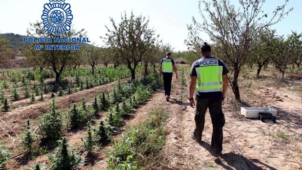 Parte de la extensa plantación desmantelada por las fuerzas de seguridad