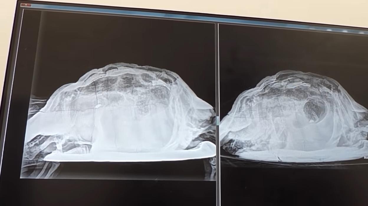 Sale de fiesta con compatriotas británicos y encuentra una tortuga en su vagina