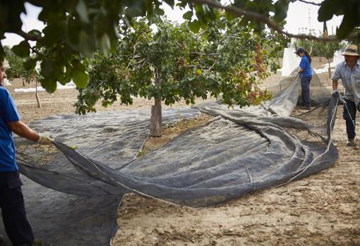 Recogida de la cosecha del pistacho en la finca del Imidra, similar a las de almendros u olivos