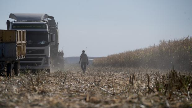 Los agricultores de Gózquez de Abajo trabajan en la recogida de maíz