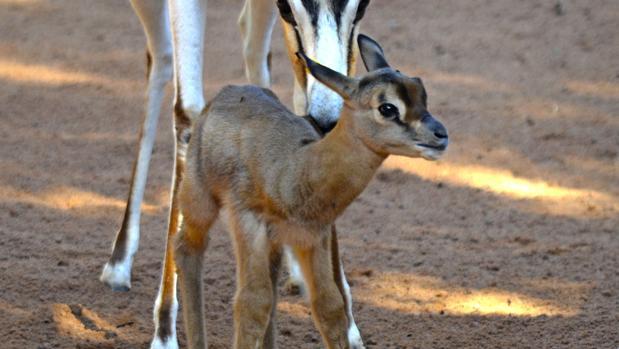 Imagen de la cría de gacela Mhorr, nacida en Bioparc Valencia