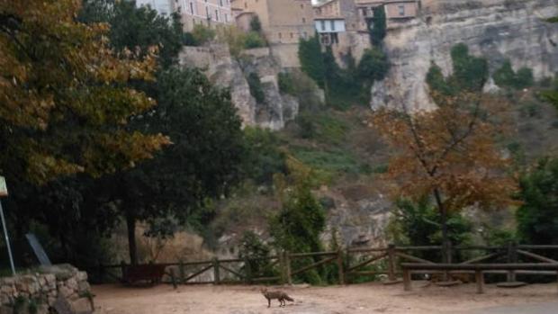 Imagen del zorro, en uno de los miradores que da a las Casas Colgadas en Cuenca