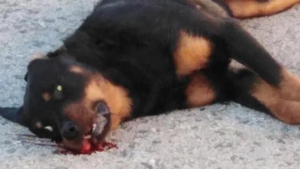Imagen del perro abatido facilitada por el PACMA