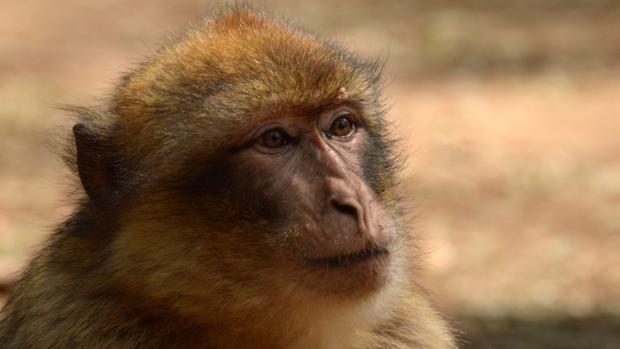 Ejemplar de macaco de Berbería