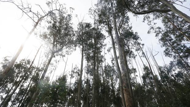 Monte de eucaliptos en la Comunidad gallega