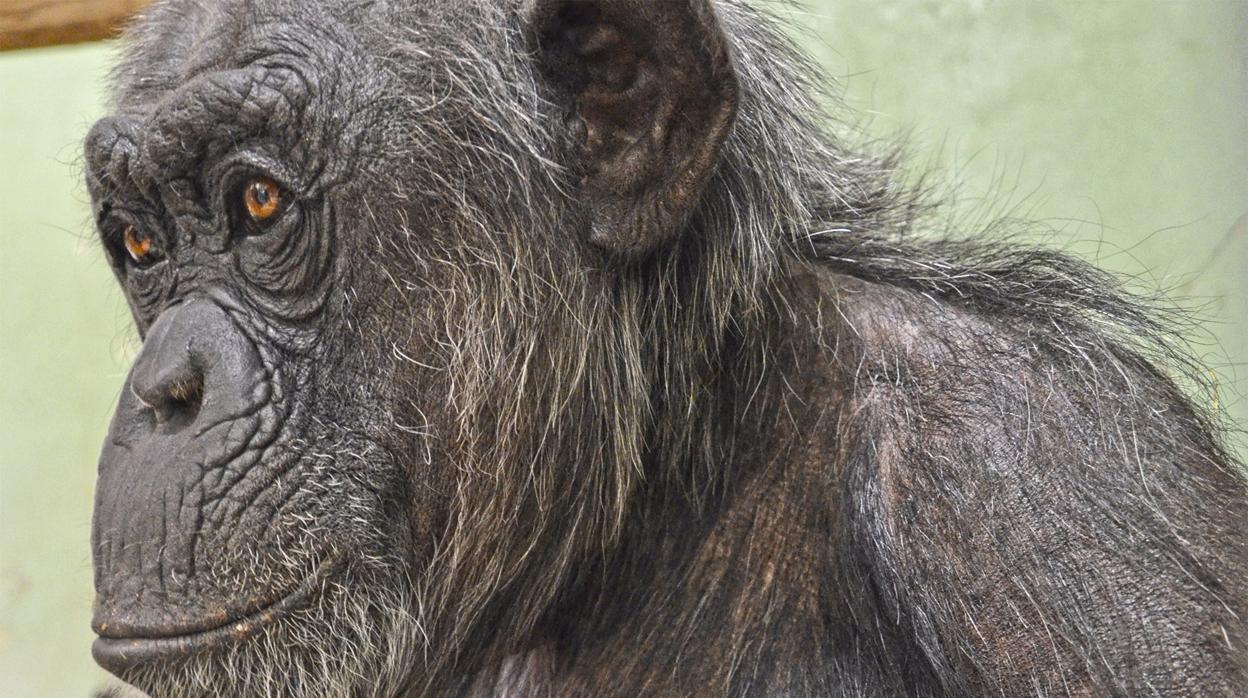 El excepcional nacimiento de mellizos de chimpancé en peligro de extinción