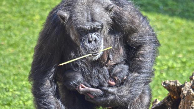 cf645e0f3528 Comienzan a salir este fin de semana los bebés mellizos de chimpancé ...