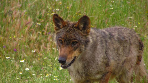 Un ejemplar de lobo ibérico en una imagen de archivo