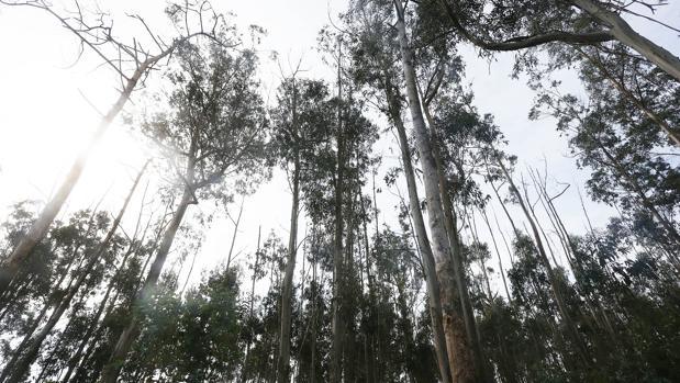 Un bosque de eucaliptos en una imagen de archivo