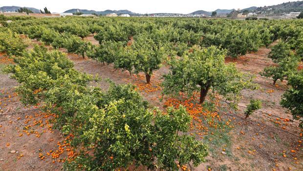 Imagen de un campo de naranjas en Valencia con los frutos tirados en el suelo por los bajos precios de esta campaña