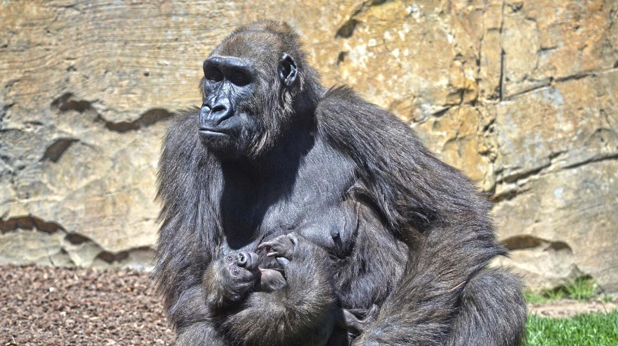 f7dbd69cfccb El bebé gorila de Bioparc Valencia se llama Félix en honor a Rodríguez de la  Fuente