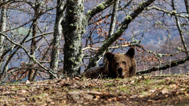 Un oso pardo en una imagen de archivo