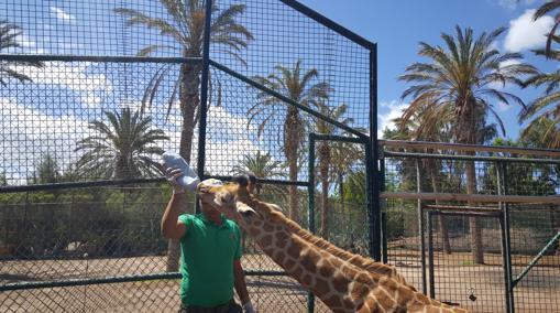 Los niños pueden ver, incluso en ocasiones participar en dar biberones a las jirafas bebés