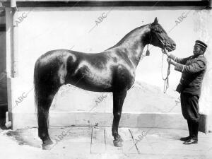"""El famoso caballo Ruso """"Talant"""", Adquirido por la dirección de la cría Caballar"""