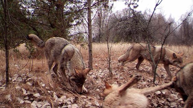 Un grupo de lobos es fotografiado en la zona de exclusión de Chernóbil, en 2014. Según algunos investigadores, la abundancia de vida salvaje es similar a la de parques naturales como el de Yellowstone