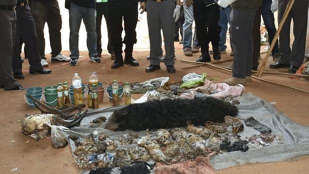 Los cadáveres de varias crías de tigre durante el registro al Templo del Tigre, en Tailandia