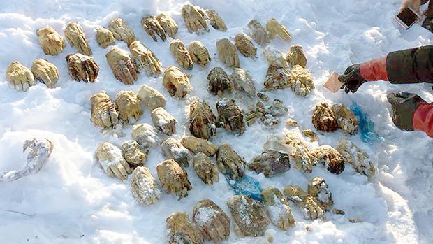 Investigan al macabro hallazgo en Siberia de una bolsa con 54 manos humanas