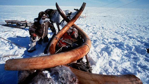 Fiebre por el marfil de mamut en Siberia