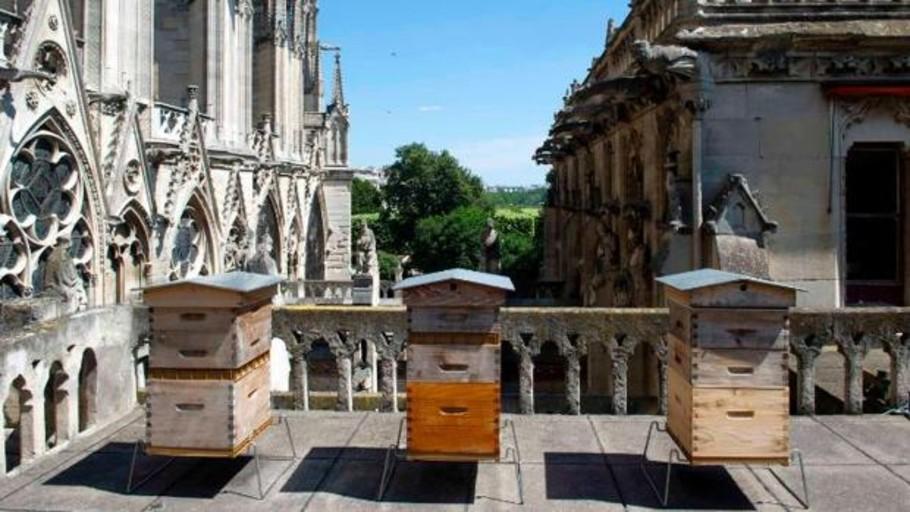 Las abejas que viven en el techo de Notre Dame sobrevivieron al incendio