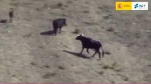 El helicóptero Pegasus hace de pastor con una vaca perdida