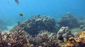 Hawái cultiva un «super coral» en la isla de Guilligan para combatir el fenómeno global de blanqueamiento