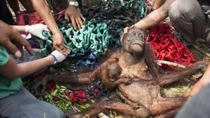 Se recuperan con normalidad en una zona protegida de la isla de Borneo