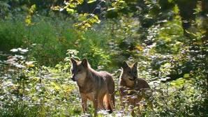 Dos lobos fotografiados en la reserva natural de la biosfera Białowieza