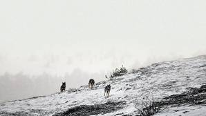 Tres lobos jóvenes se dirigien, al amanecer, hacia el encame en las montañas palentinas de Fuentes Carrionas