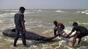 Varamiento masivo de calderones en la costa sur de India