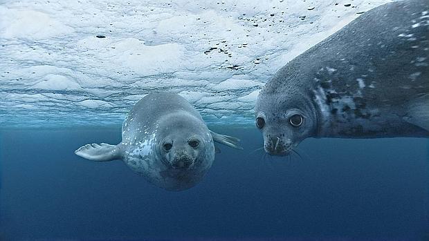 http://www.abc.es/media/natural/2016/01/14/oceanos-focas_xoptimizadax--620x349.jpg