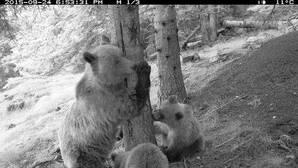 Los osos del Pirineo catalán se despiertan de la hibernación en busca de las últimas bellotas