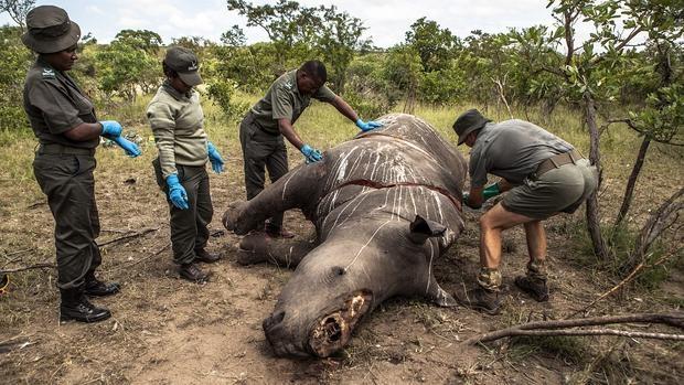 La Unidad de Investigación Criminal Medioambiental de los Parques Nacionales de Sudáfrica (SANParks) prepara el cuerpo sin vida de un rinoceronte abatido por cazadores furtivos para la autopsia