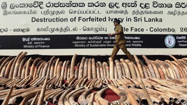Sri Lanka destruye el mayor cargamento de «marfil de sangre» incautado en sus puertos