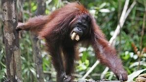 Ejemplar de orangután de Borneo