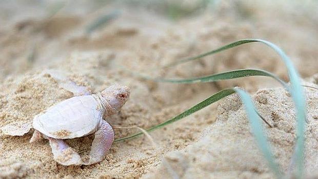 Una tortuga verde única en el mundo: «blanca como la nieve y con los ...