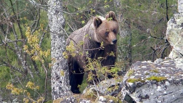 Hembra adulta de oso pardo cantábrico