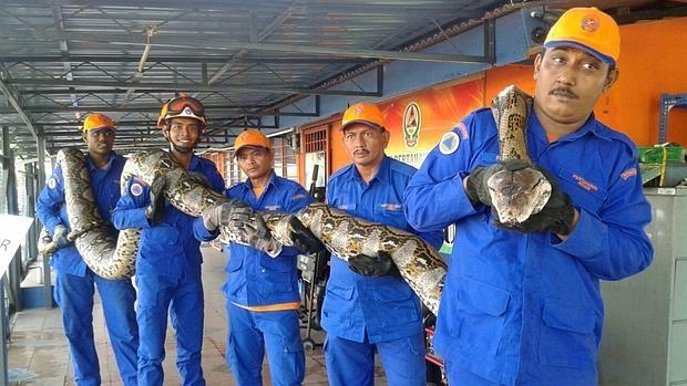 Fotografía facilitada por la Fuerza de Defensa Civil de Malasia que muestra la serpiente pitón capturada en Penang