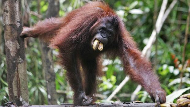 Orangután de Borneo