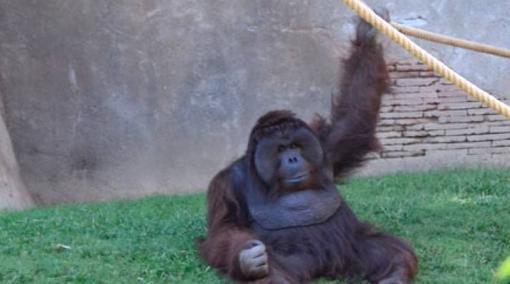 Ejemplar macho de orangután de Borneo