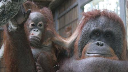 Una hembra de orangután de Borneo con su cría