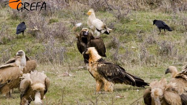 En la imagen, tomada en los Pirineos, se observan las cuatro especies de buitre que alberga España: buitre negro, alimoche, quebrantahuesos y buitre leonado