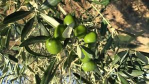 Emprendimiento verde asociado al olivar