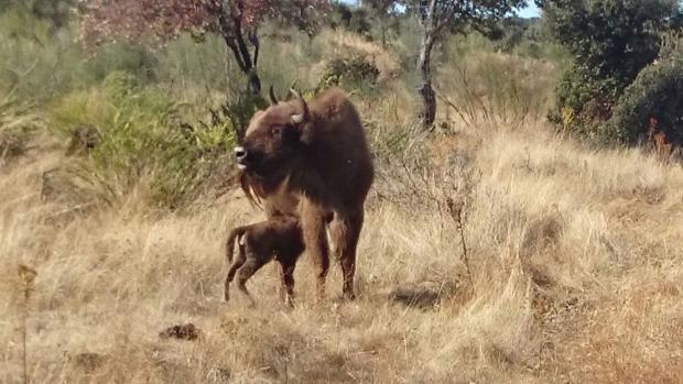 El bisonte de origen europeo que ha nacido en Extremadura desde la Prehistoria.
