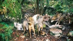 «La realidad demuestra que se matan todos los lobos que se puede, legal o ilegalmente»