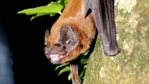 El único murciélago que come pájaros en vuelo necesita una adecuada gestión forestal