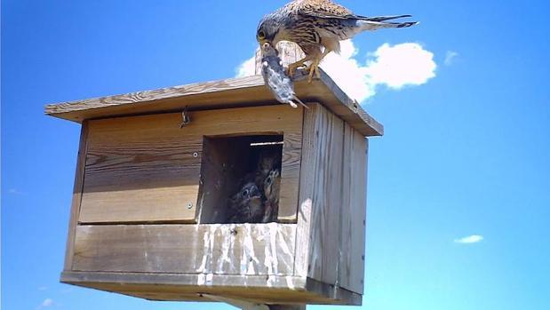 Un cernícalo vulgar trae un roedor a sus pollos, en una caja nido instalada para el control biológico del topillo