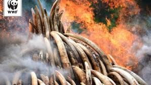 Los grupos conservacionistas calificaron de «histórica» la decisión del Gobierno chino para la futura preservación de los elefantes