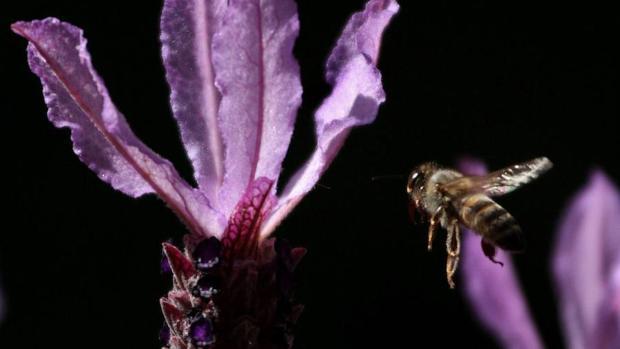 Este insecto robótico ya ha sido probado con éxito en el campo y ofrece una «esperanzadora alternativa» para hacer frente a la reducción constante de la población mundial de abejas